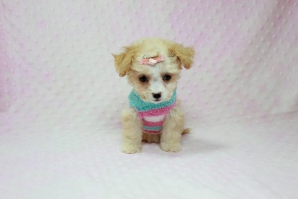 Angelina Jolie - Teacup Maltipoo Puppy In L.A Found A New Loving Home with Leila From Studio City CA 91604 -11740