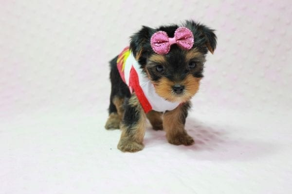 Bayley - Micro Yorkie Puppy Available in LA Found A New loving home -11451