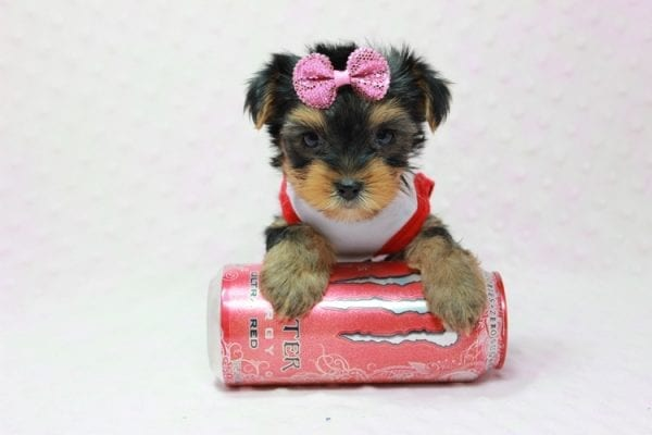 Bayley - Micro Yorkie Puppy Available in LA Found A New loving home -11450