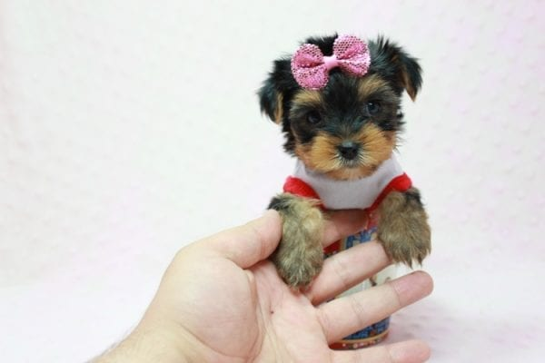 Bayley - Micro Yorkie Puppy Available in LA Found A New loving home -11452