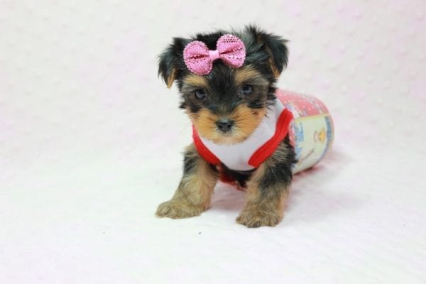 Bayley - Micro Yorkie Puppy Available in LA Found A New loving home -11454