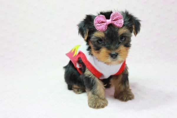 Bayley - Micro Yorkie Puppy Available in LA Found A New loving home -11453