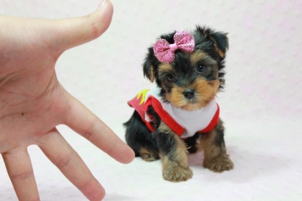 Bayley - Micro Yorkie Puppy Available in LA Found A New loving home -0