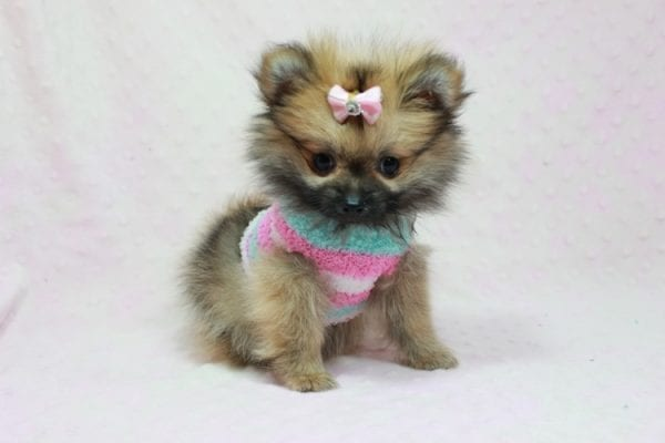 Bella - Teacup Pomeranian Puppy has found a good loving home with TAMMY FROM MOBILE, AL 36608-11633