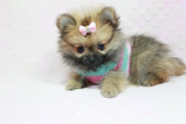 Bella - Teacup Pomeranian Puppy has found a good loving home with TAMMY FROM MOBILE, AL 36608-11630