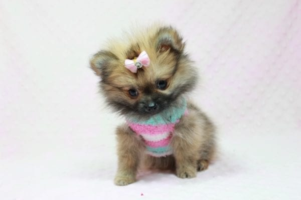 Bella - Teacup Pomeranian Puppy has found a good loving home with TAMMY FROM MOBILE, AL 36608-11635