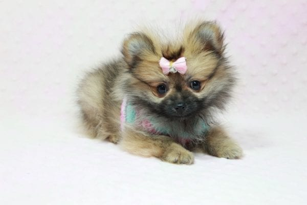 Bella - Teacup Pomeranian Puppy has found a good loving home with TAMMY FROM MOBILE, AL 36608-11631