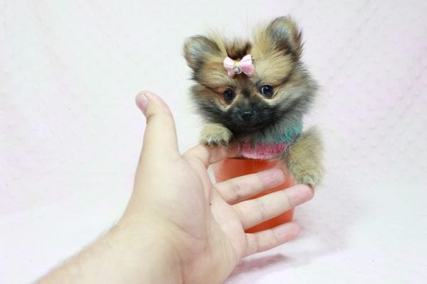 Bella - Teacup Pomeranian Puppy has found a good loving home with TAMMY FROM MOBILE, AL 36608-11637