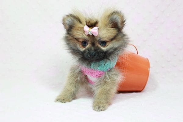 Bella - Teacup Pomeranian Puppy has found a good loving home with TAMMY FROM MOBILE, AL 36608-11638