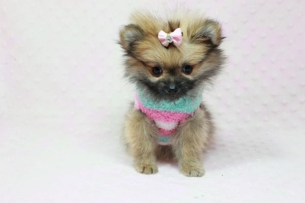 Bella - Teacup Pomeranian Puppy has found a good loving home with TAMMY FROM MOBILE, AL 36608-11636