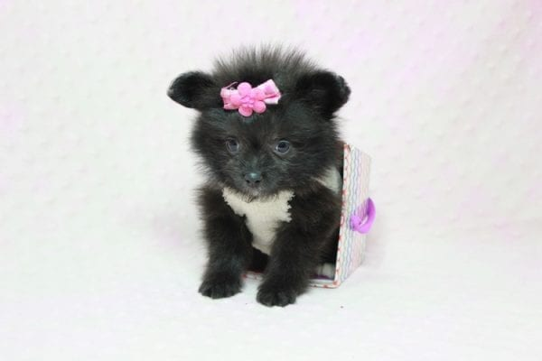 Beyonce - Small Pomtese Puppy Found Her Loving Home with Raluca (Rachel) from Manhatten Bch CA 90266-11746