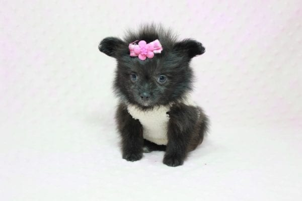 Beyonce - Small Pomtese Puppy Found Her Loving Home with Raluca (Rachel) from Manhatten Bch CA 90266-11743