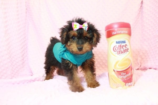 Beyonce - Yorkipoo Puppy Has Found A Loving Home With Marci in Las Vegas, NV!-11562
