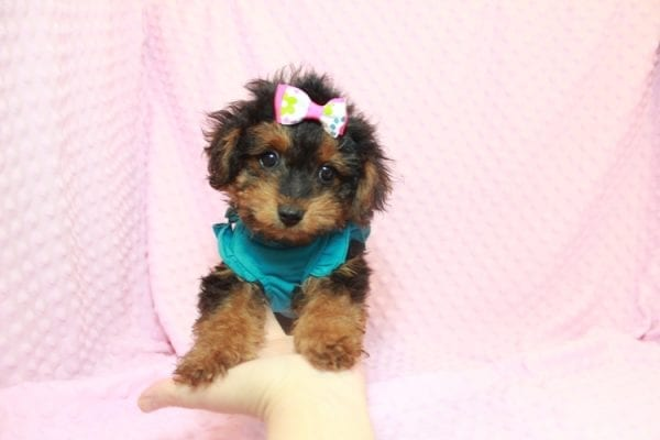 Beyonce - Yorkipoo Puppy Has Found A Loving Home With Marci in Las Vegas, NV!-11561