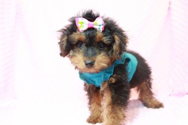 Beyonce - Yorkipoo Puppy Has Found A Loving Home With Marci in Las Vegas, NV!-11565