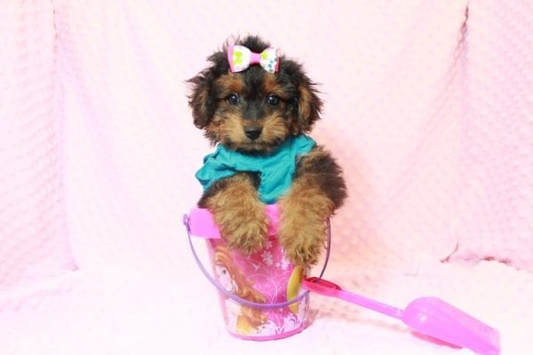 Beyonce - Yorkipoo Puppy Has Found A Loving Home With Marci in Las Vegas, NV!-11566