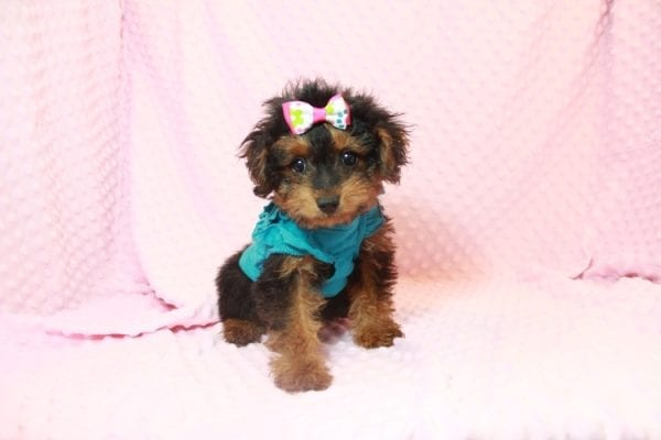 Beyonce - Yorkipoo Puppy Has Found A Loving Home With Marci in Las Vegas, NV!-11563