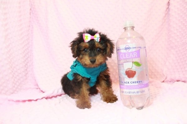 Beyonce - Yorkipoo Puppy Has Found A Loving Home With Marci in Las Vegas, NV!-0