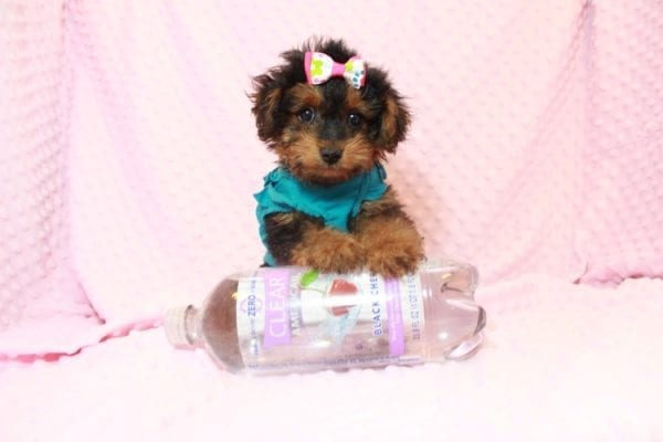 Beyonce - Yorkipoo Puppy Has Found A Loving Home With Marci in Las Vegas, NV!-11564