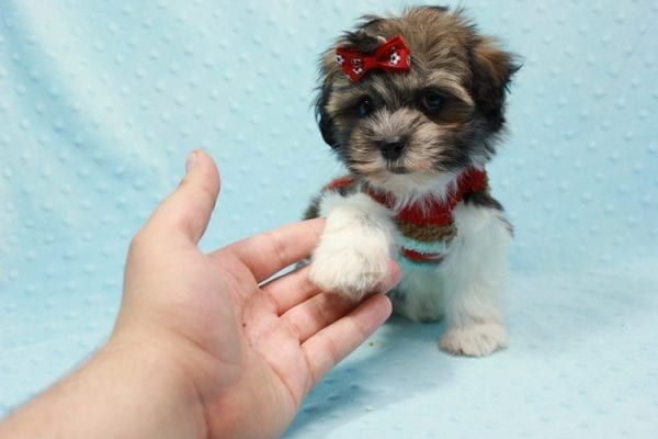 Bono - Small Malshi Puppy In L.A Found a new loving home With Diana From Montibello CA-11589