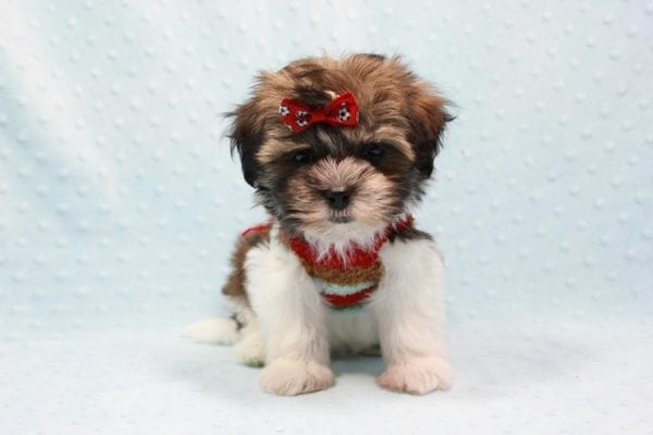 Bono - Small Malshi Puppy In L.A Found a new loving home With Diana From Montibello CA-11585