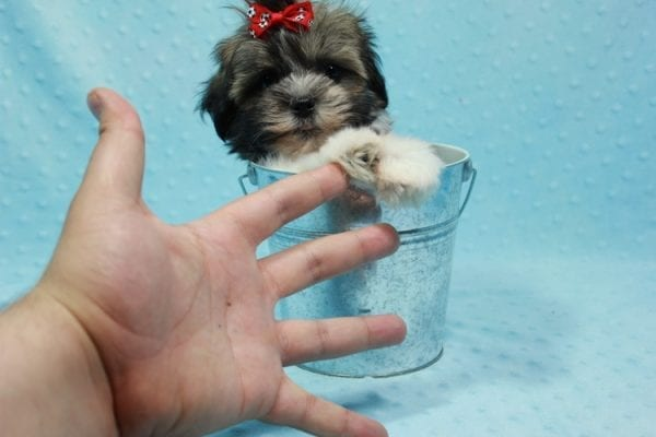Bono - Small Malshi Puppy In L.A Found a new loving home With Diana From Montibello CA-11587
