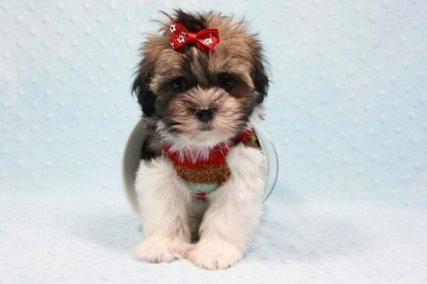Bono - Small Malshi Puppy In L.A Found a new loving home With Diana From Montibello CA-11584