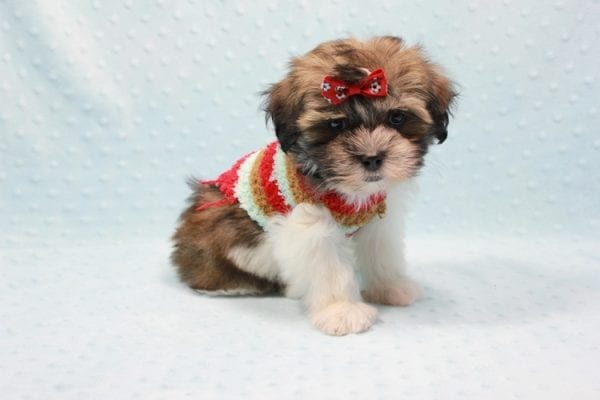 Bono - Small Malshi Puppy In L.A Found a new loving home With Diana From Montibello CA-11588