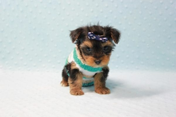 Bruno - Teacup Yorkie Puppy In L.A Found A New Loving Home With George From Sun land CA 91040-11679