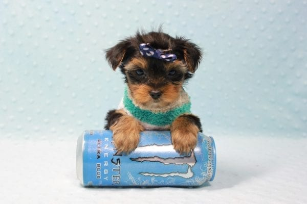 Bruno - Teacup Yorkie Puppy In L.A Found A New Loving Home With George From Sun land CA 91040-11675