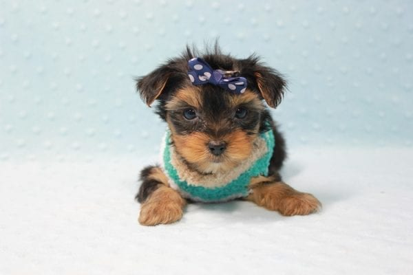 Bruno - Teacup Yorkie Puppy In L.A Found A New Loving Home With George From Sun land CA 91040-11683