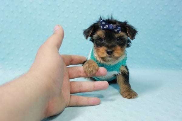 Bruno - Teacup Yorkie Puppy In L.A Found A New Loving Home With George From Sun land CA 91040-11676