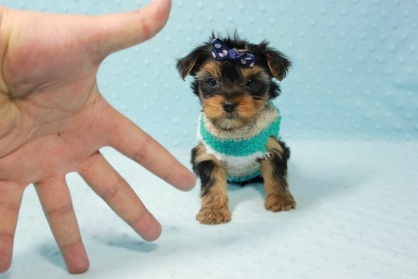 Bruno - Teacup Yorkie Puppy In L.A Found A New Loving Home With George From Sun land CA 91040-11680