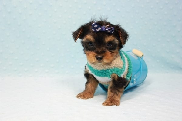Bruno - Teacup Yorkie Puppy In L.A Found A New Loving Home With George From Sun land CA 91040-11677