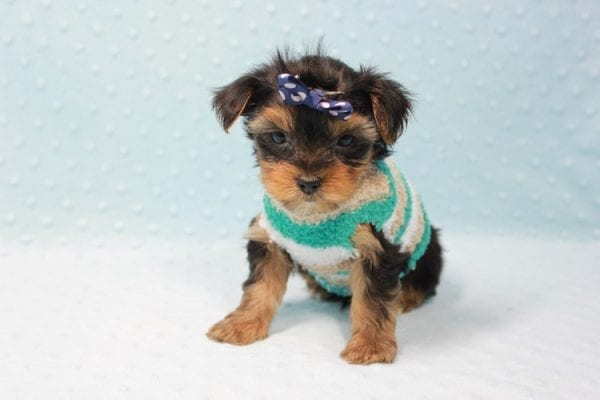 Bruno - Teacup Yorkie Puppy In L.A Found A New Loving Home With George From Sun land CA 91040-11682