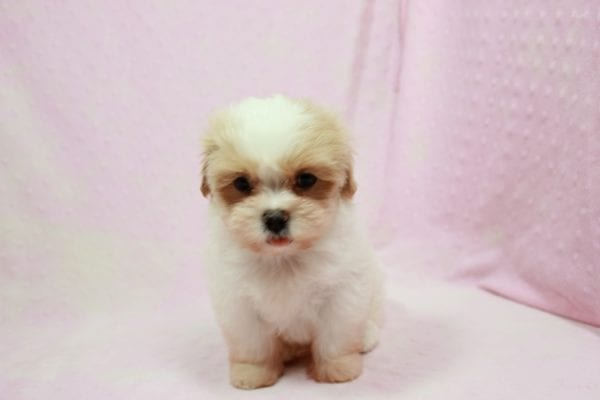 Bubbles - Small Malshi Puppy In Los Angeles Found A New Loving home with Hassan From Los Angeles CA 90025-11506