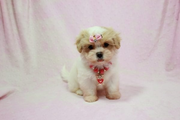 Bubbles - Small Malshi Puppy In Los Angeles Found A New Loving home with Hassan From Los Angeles CA 90025-11505