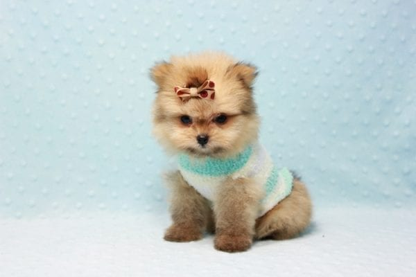 Button - Teacup Pomeranian Puppy In L.A Found A New Loving Home with Petra From Beverly Hills Ca 90024 -11649