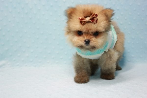Button - Teacup Pomeranian Puppy In L.A Found A New Loving Home with Petra From Beverly Hills Ca 90024 -11640