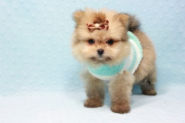 Button - Teacup Pomeranian Puppy In L.A Found A New Loving Home with Petra From Beverly Hills Ca 90024 -11646