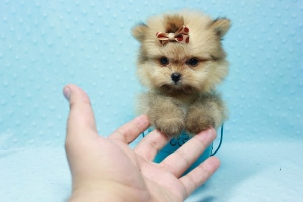 Button - Teacup Pomeranian Puppy In L.A Found A New Loving Home with Petra From Beverly Hills Ca 90024 -11641