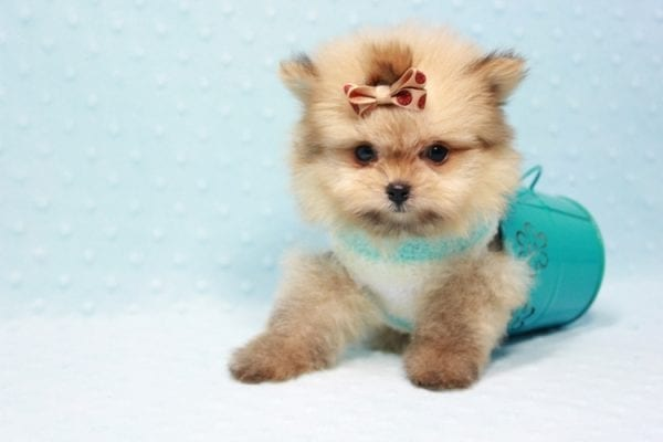 Button - Teacup Pomeranian Puppy In L.A Found A New Loving Home with Petra From Beverly Hills Ca 90024 -11647