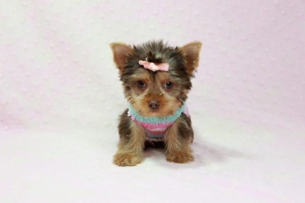 Chloe - Teacup Yorkie Has Found A Loving Home With Martin In Henderson, NV 89011!-11330
