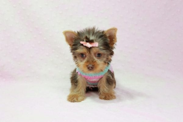 Chloe - Teacup Yorkie Has Found A Loving Home With Martin In Henderson, NV 89011!-11324