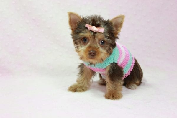 Chloe - Teacup Yorkie Has Found A Loving Home With Martin In Henderson, NV 89011!-11325