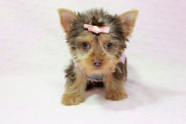 Chloe - Teacup Yorkie Has Found A Loving Home With Martin In Henderson, NV 89011!-11320