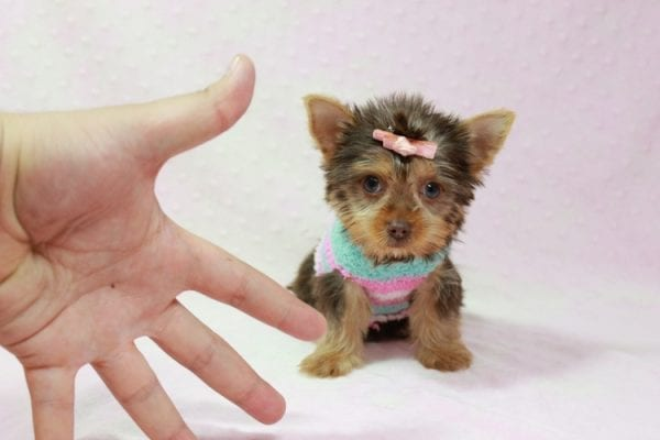 Chloe - Teacup Yorkie Has Found A Loving Home With Martin In Henderson, NV 89011!-11329