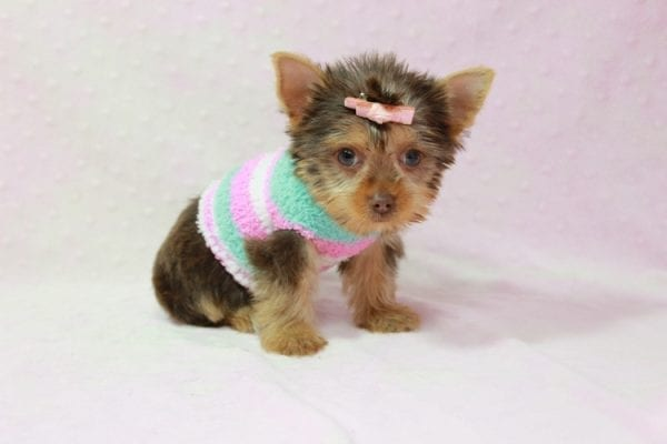 Chloe - Teacup Yorkie Has Found A Loving Home With Martin In Henderson, NV 89011!-11319