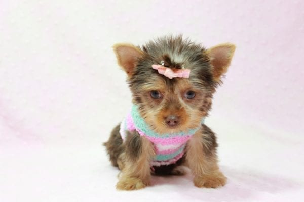 Chloe - Teacup Yorkie Has Found A Loving Home With Martin In Henderson, NV 89011!-11321