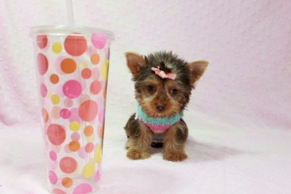 Chloe - Teacup Yorkie Has Found A Loving Home With Martin In Henderson, NV 89011!-0